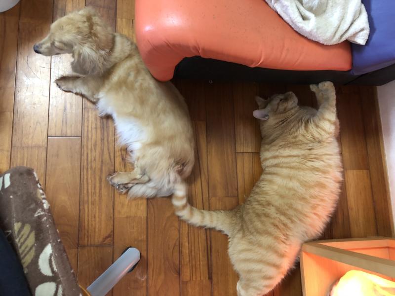 デブ猫とダックスフンド