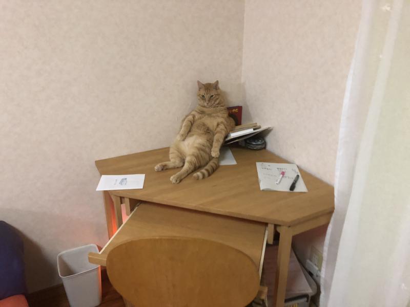 デブ猫 仕事場を占領する